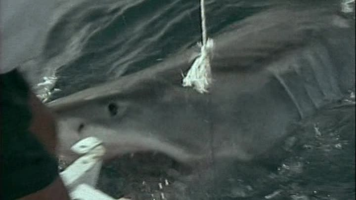 Белая акула - одинокий властелин моря. 1991. ( Одиссея Жака Кусто ).