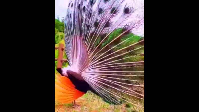 200606 (1) 💙00606 Павлин - шикарная птица (2.26).mp4