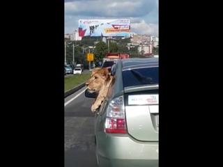 лев в машине, всего то