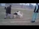 Гуль донг vs метис овчарки