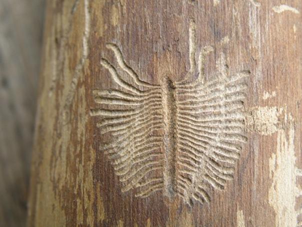 Жук типограф следы на дереве
