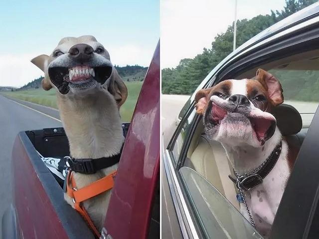 Почему собаки высовывают голову из окна автомобиля?