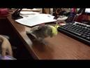 Попугай корелла поёт как айфон