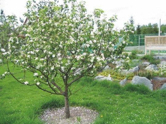 Уход за молодыми яблонями  Мероприятия по уходу, в принципе,...
