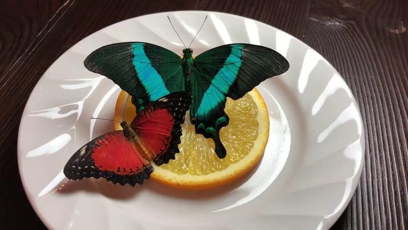 Парусник Палинур Papilio Palinurus Цетозия Библис Cethosia Biblis