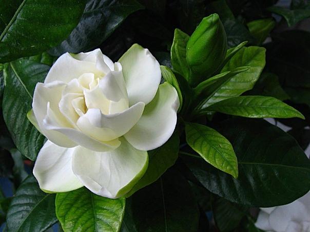 Гардения жасминовидная Как комнатное растение распространен один вид - Гардения жасминовая (Gardenia jasminoides). В домашних условиях образует невысокий кустик примерно 45 50 см высотой с