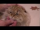 Золотой кот Хироши уши и хвост