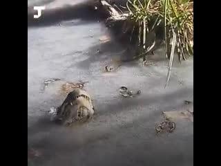 Аллигаторы вмерзли в лед и уснули...