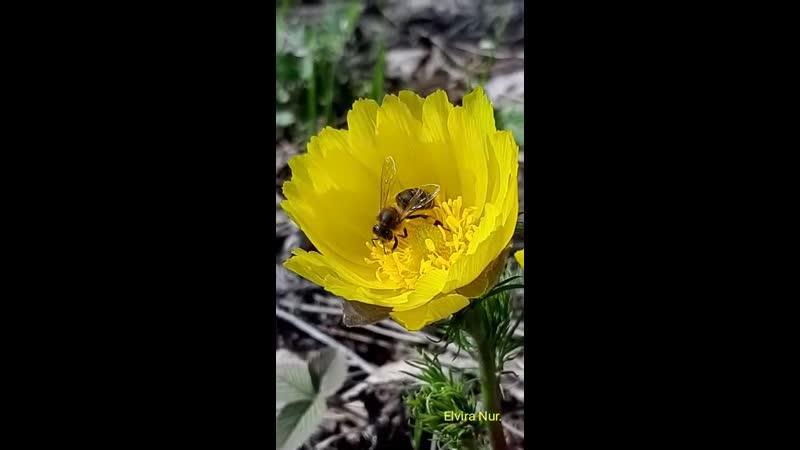 Пчелка на адонисе mp4